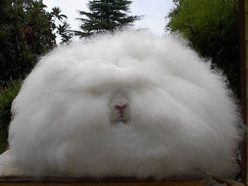 Angora konijn (c) Squish_e via Flickr