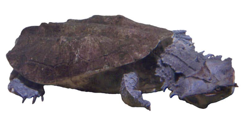 Matamata (c) Wikipedia cc