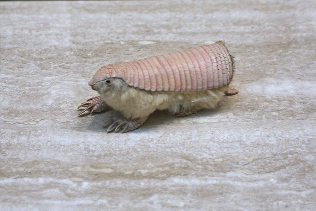 Pink Fairy Armadillo (c) cliff1066 via Flickr.com
