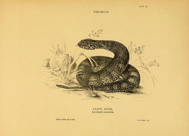 Illustratie van een doodsadder (c) Biodiversity Heritage Library