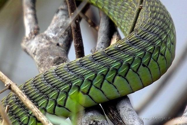 Detail van een boomslang (c) Arno Meintjes Wildlife via Flickr