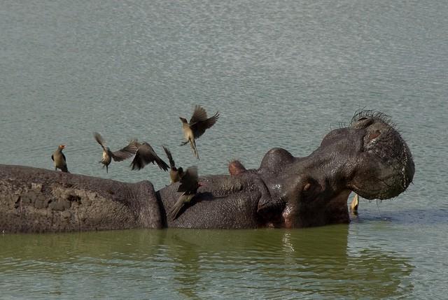 Nijlpaard (c) David d'O via Flickr
