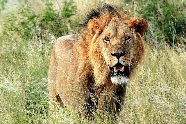Koning Leeuw (c) amhuxham via Flickr