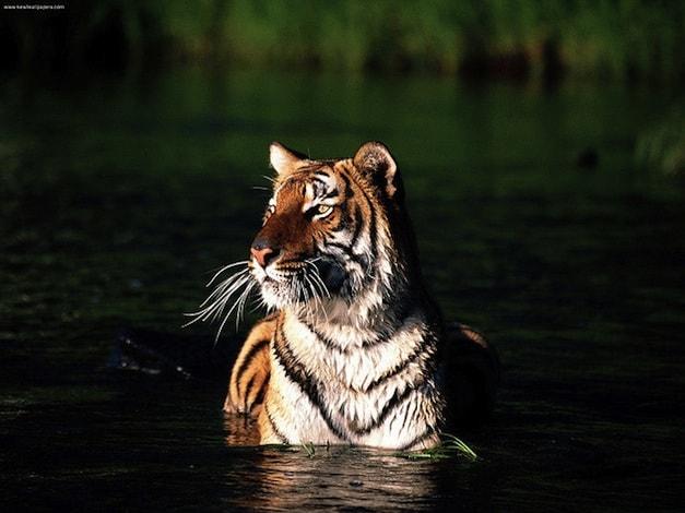 Bengaalse tijger (c) kewlwallpapers.com