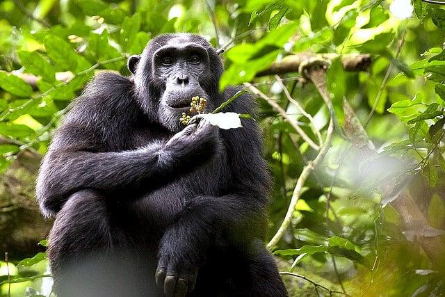Chimpansee in Uganda (c) fveronesi1