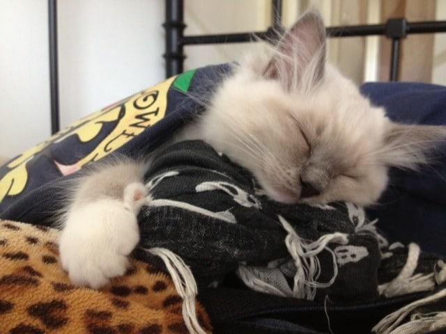 Blue Point Mitted Ragdoll - In slaap gevallen in mijn tas :)